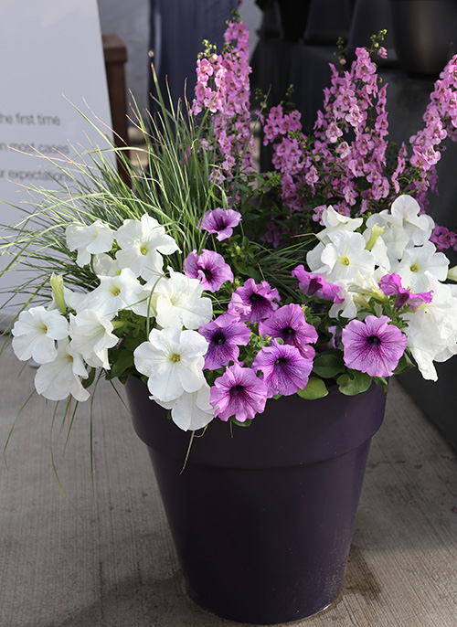 Benary petunia container.