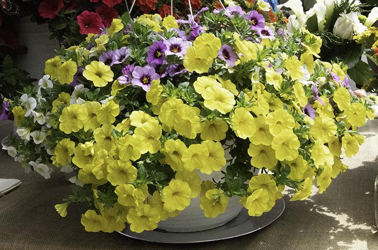Yellow petunia from Dummen Orange