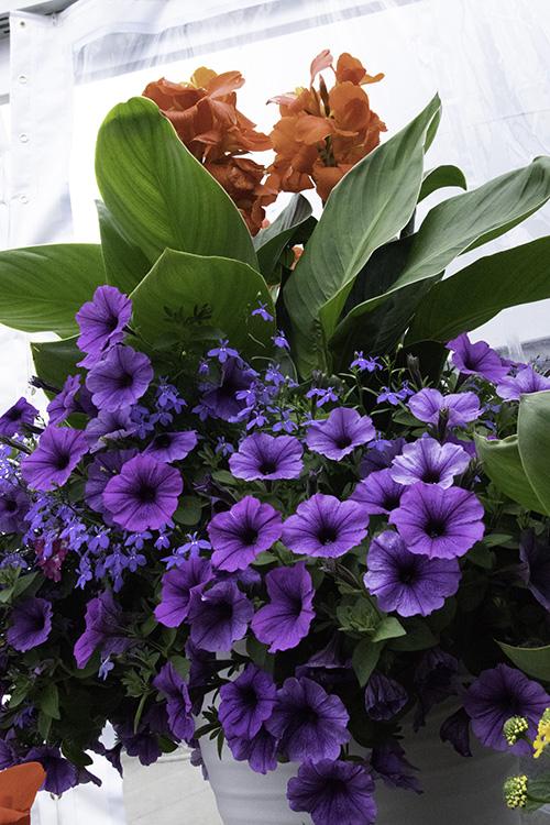 Dark purple blue petunia