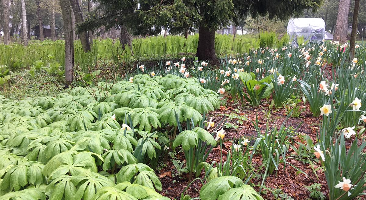 Mayapples and daffodils