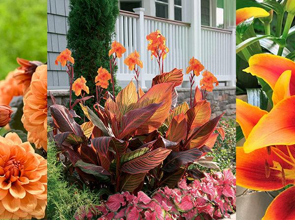 orange dahlias, cannas and lilies