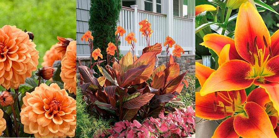 orange dahlias, cannas and lilies