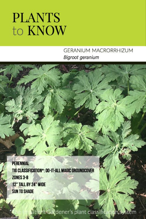 Plant to Know: Geranium macrorrhizum