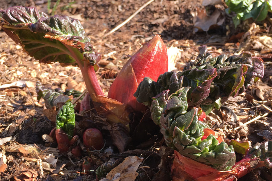 rhubarb emerging