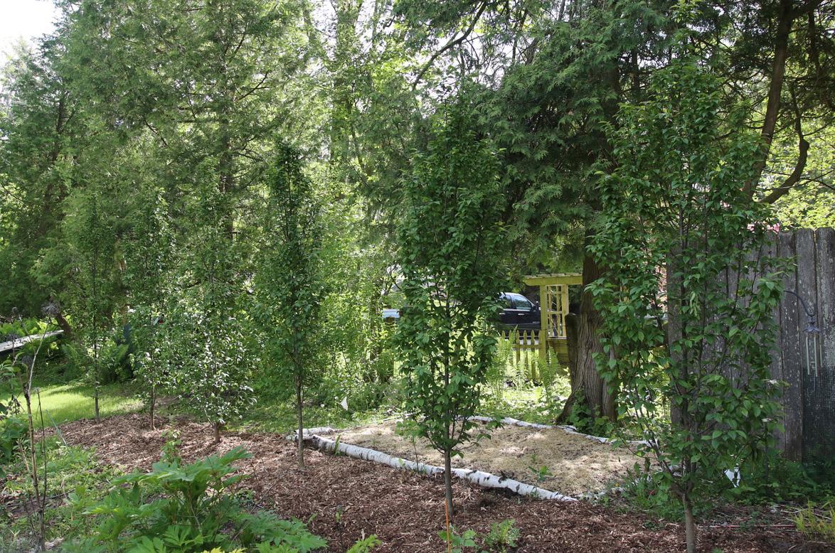 planting hornbeams