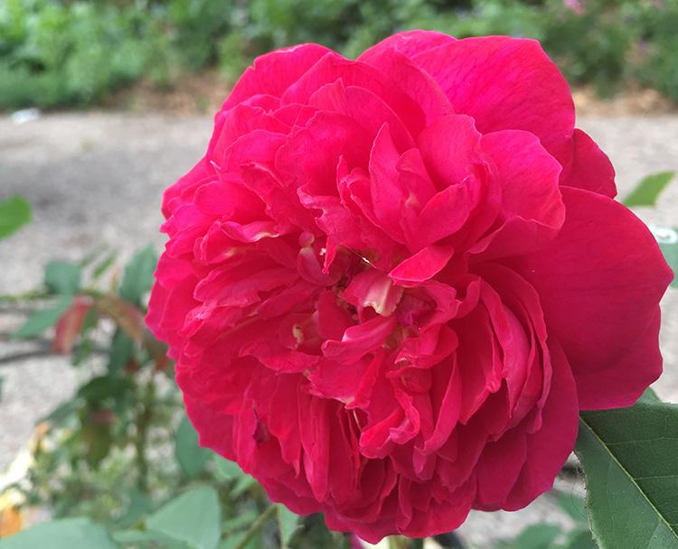 Benjamin britten rose