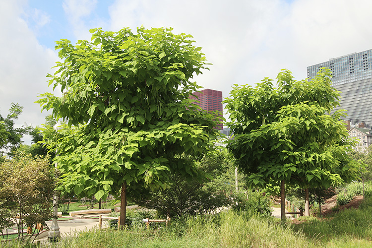 Catalpa trees