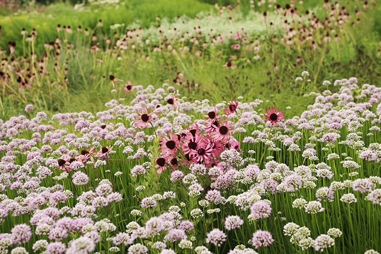 alliums with coneflowers