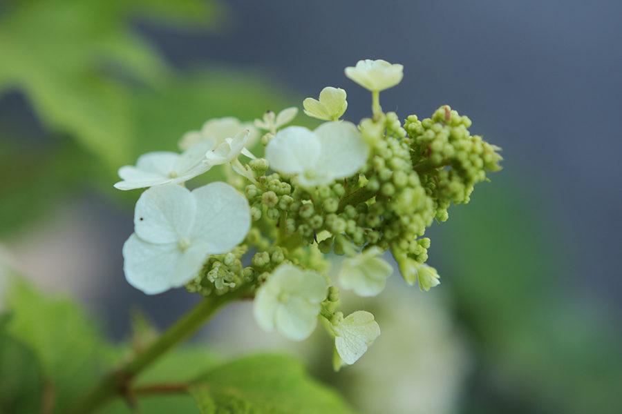 oak leaf hydrangea