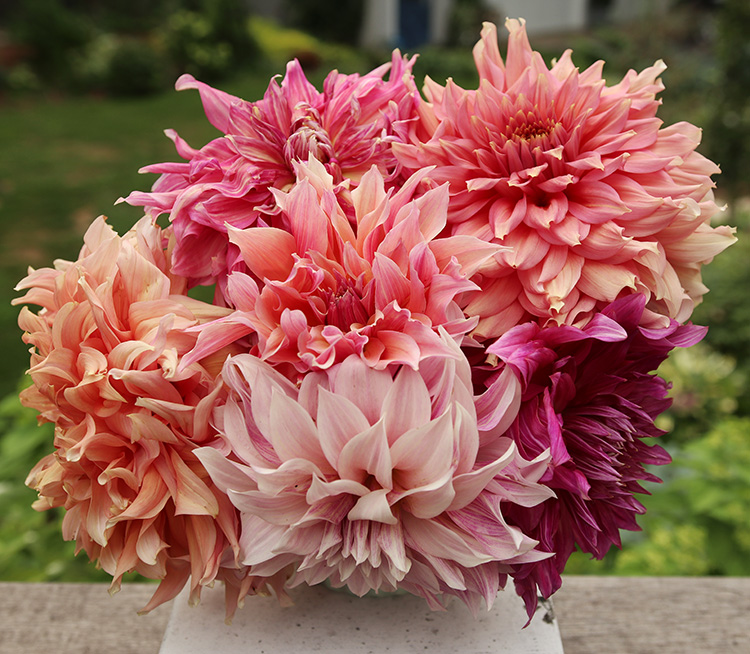 dahlia bouquet -- The Impatient Gardener