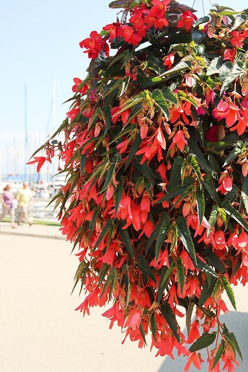 Begonia hanging basket.