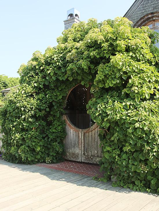 climbing hydrangea arch