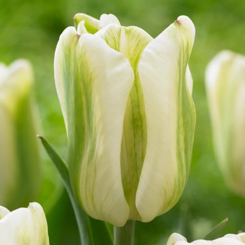 Green Spirit is a beautiful, fresh green-striped tulip