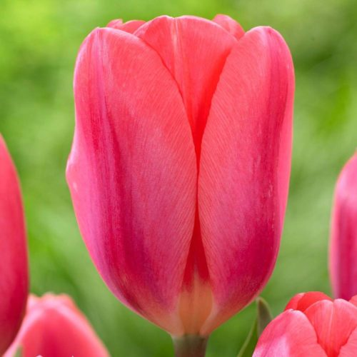 Cosmopolitan is a bright, true pink tulip.