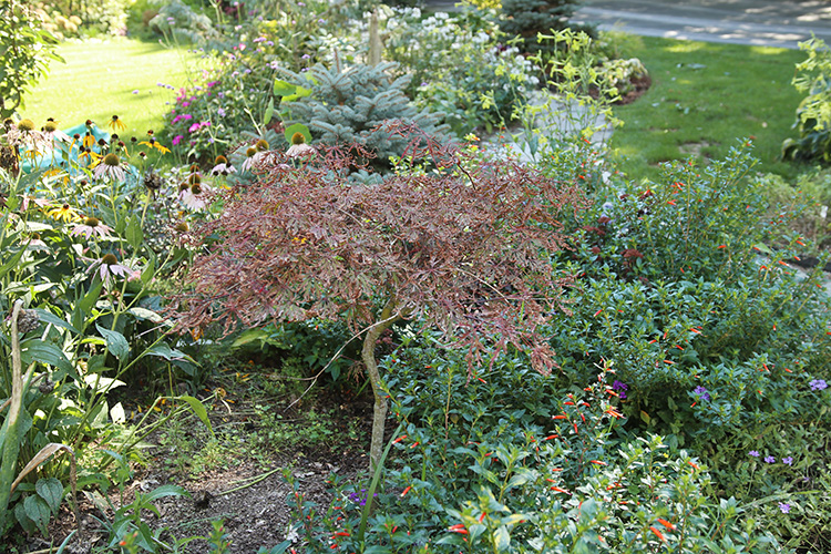Struggling Japanese maple 'Orangeola;