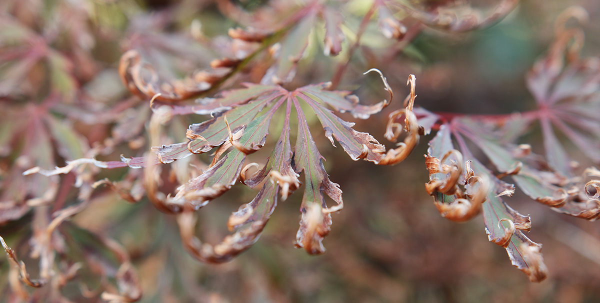 Curled Japanese maple leaves