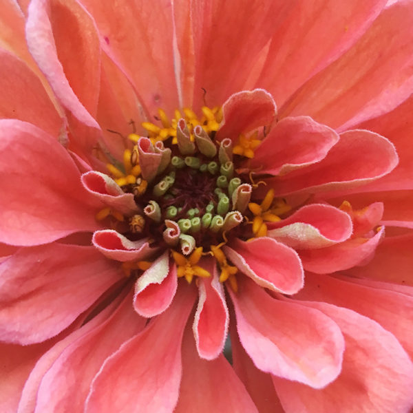 Giant salmon zinnia, grow your own from seed