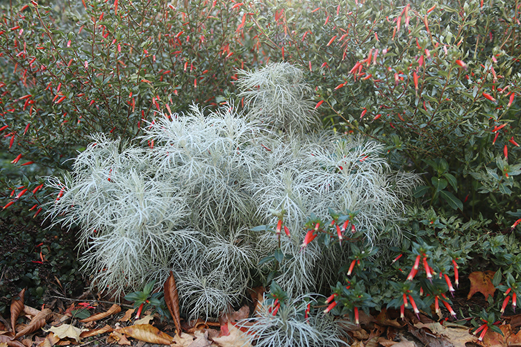 Artemisia Makana Silver from Terranova Nurseries is still going strong after several frosts.
