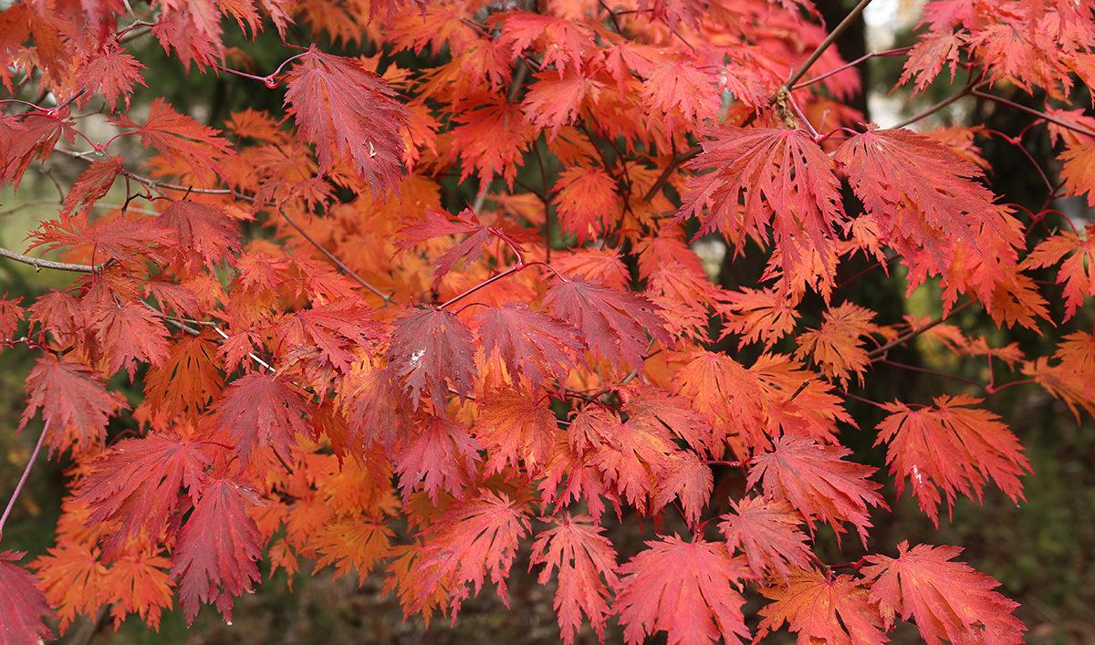 Acer japonicum 'Acontifolium' fall color