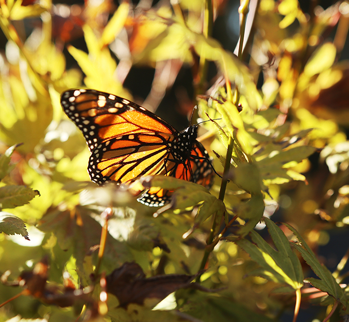 Monarch in Japanese maple