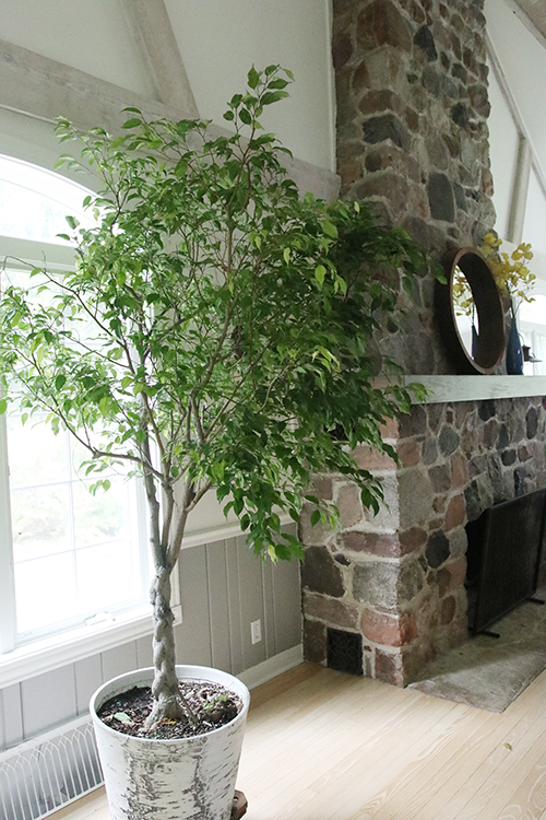 Ficus in living room.