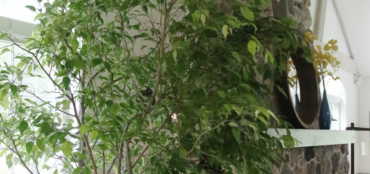 Caring for ficus plants