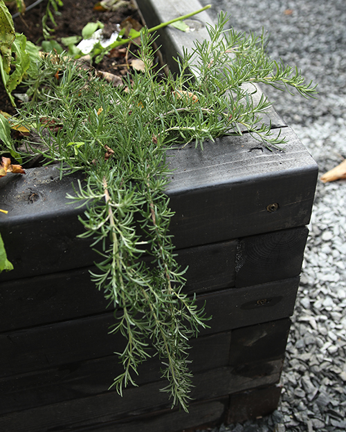 Foxtail rosemary is a trailing variety that is as delicious as other rosemary but has a decorative touch,
