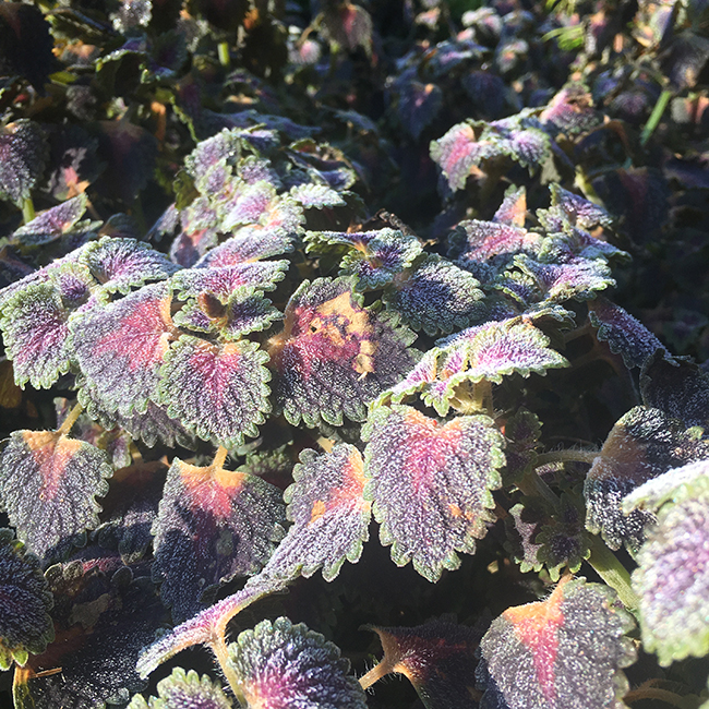 Coleus with frost on it.
