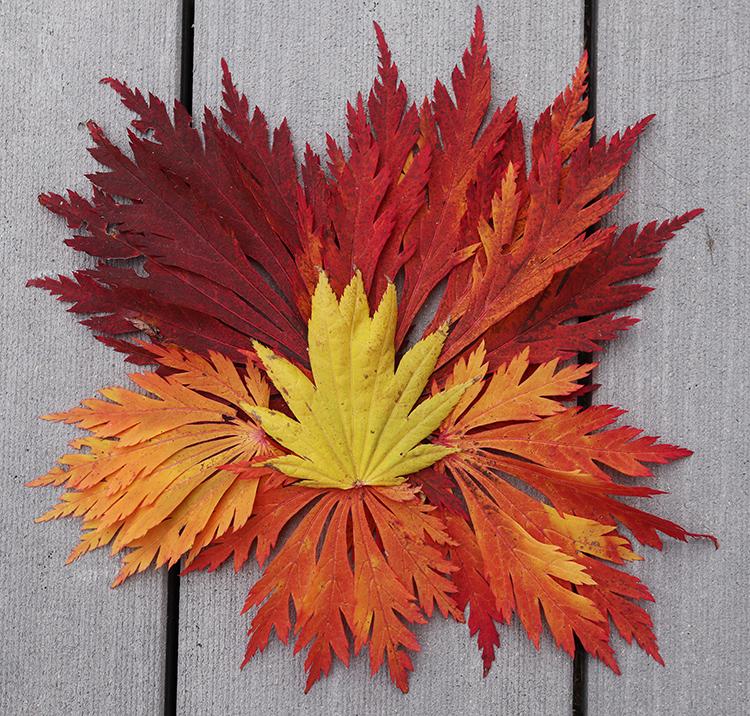 Acontifolium Japanese maple leaves