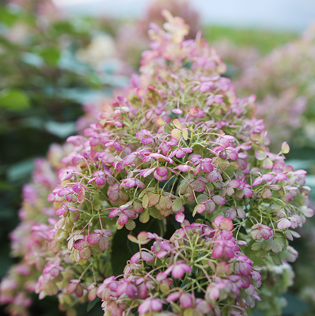 Bobo hydrangea in its fall pink color