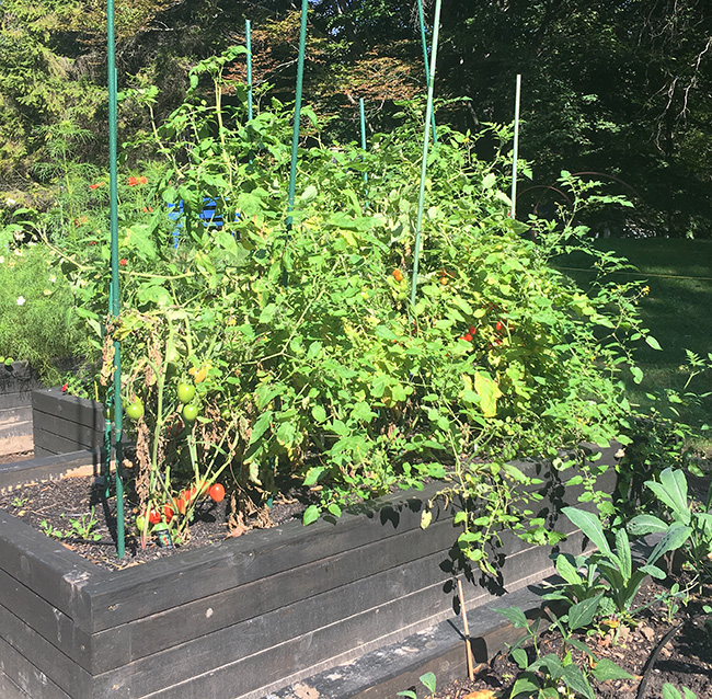 Prune tomato plants at the end of the season to help ripen fruit.
