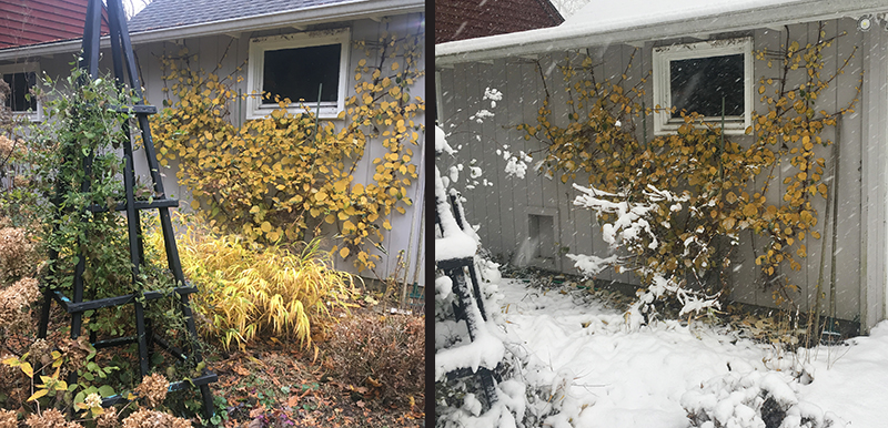 Before snow and after snow -- fall color climbing hydrangea