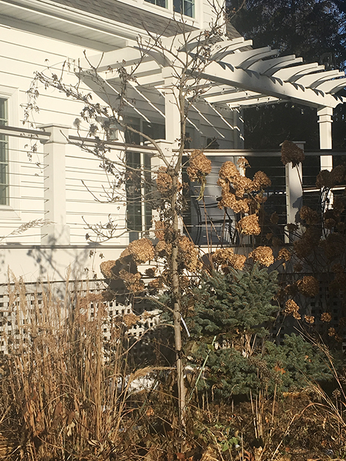 dead magnolia tree