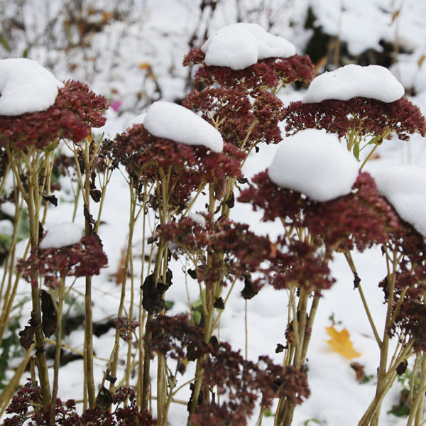 Snow-covered sedum