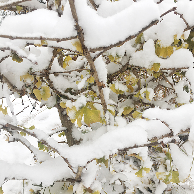 Ginkgo covered in snow