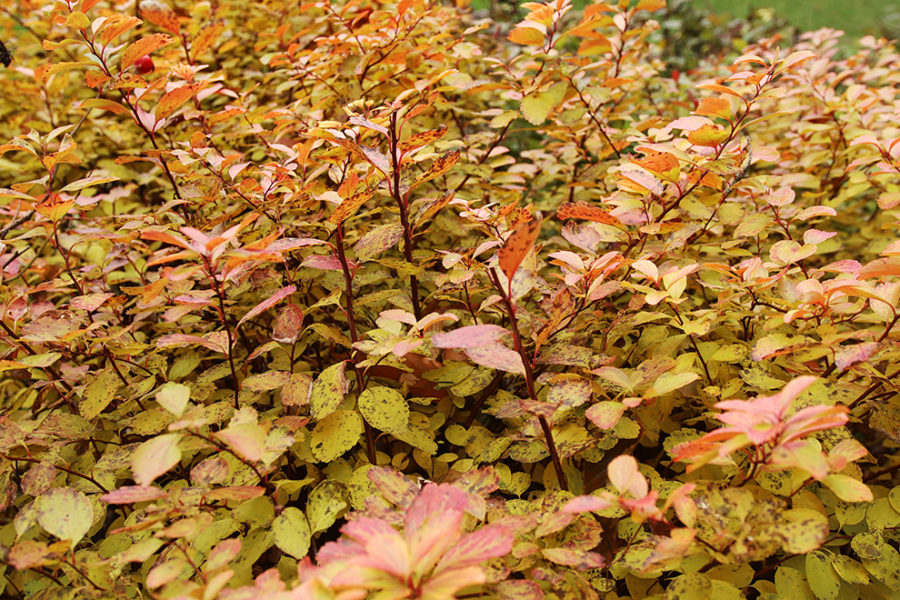Fall color on birchleaf spirea