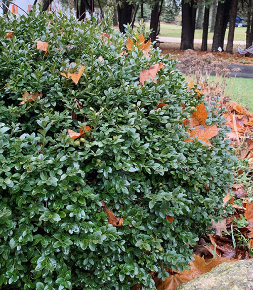 boxwood for containers