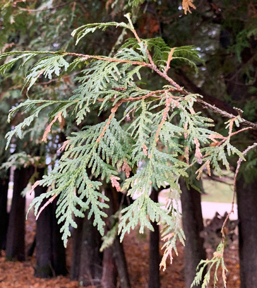 airy cedar for winter containers