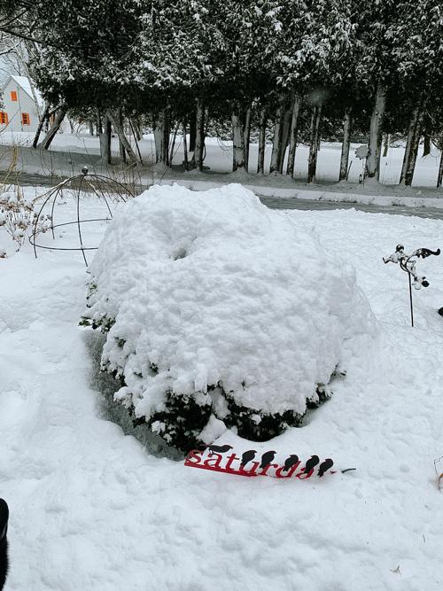 Boxwood under snow