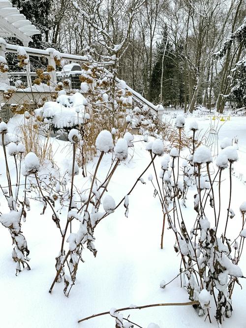 Echinacea in snow