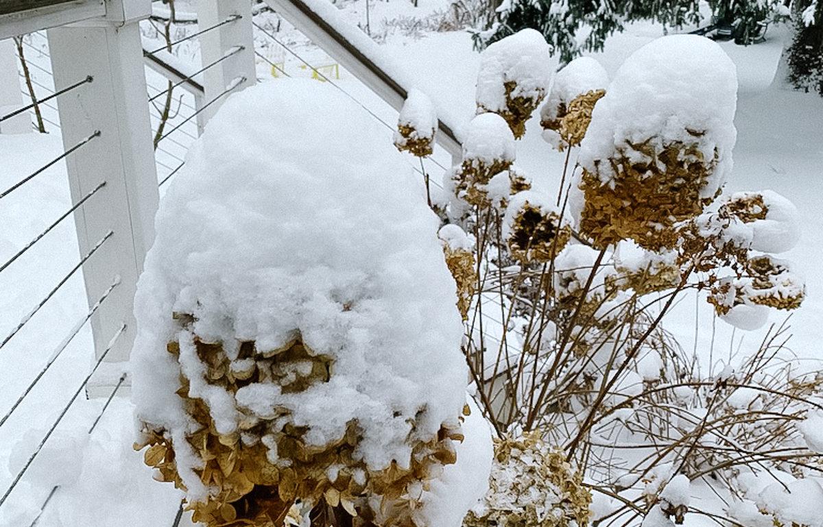 snow on hydrangeas