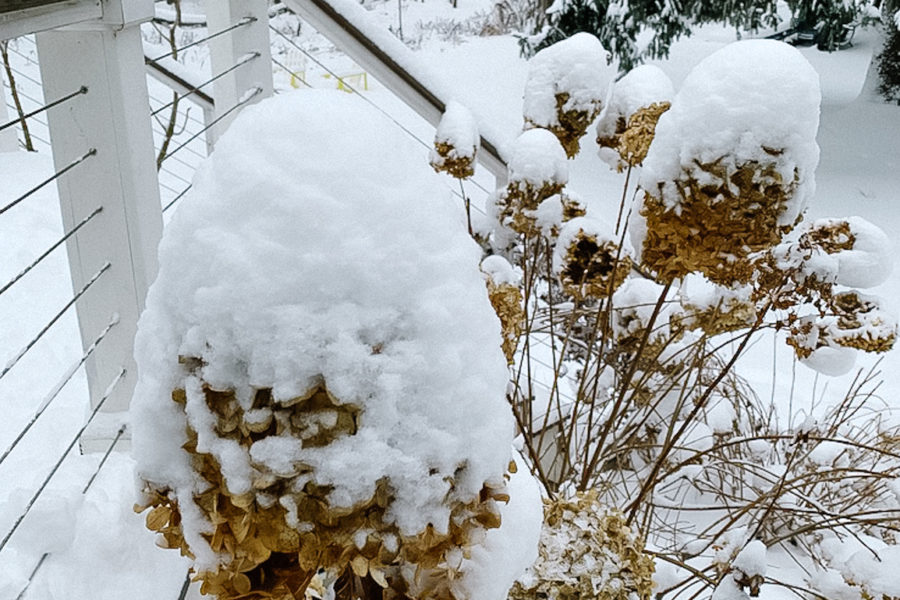 snow on hydrangeas