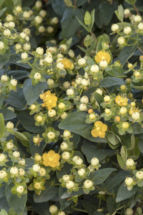 FloralBerry Champagne St. John's Wort