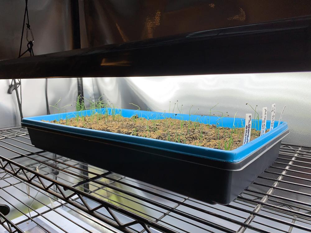 Onion seedlings under LED grow light