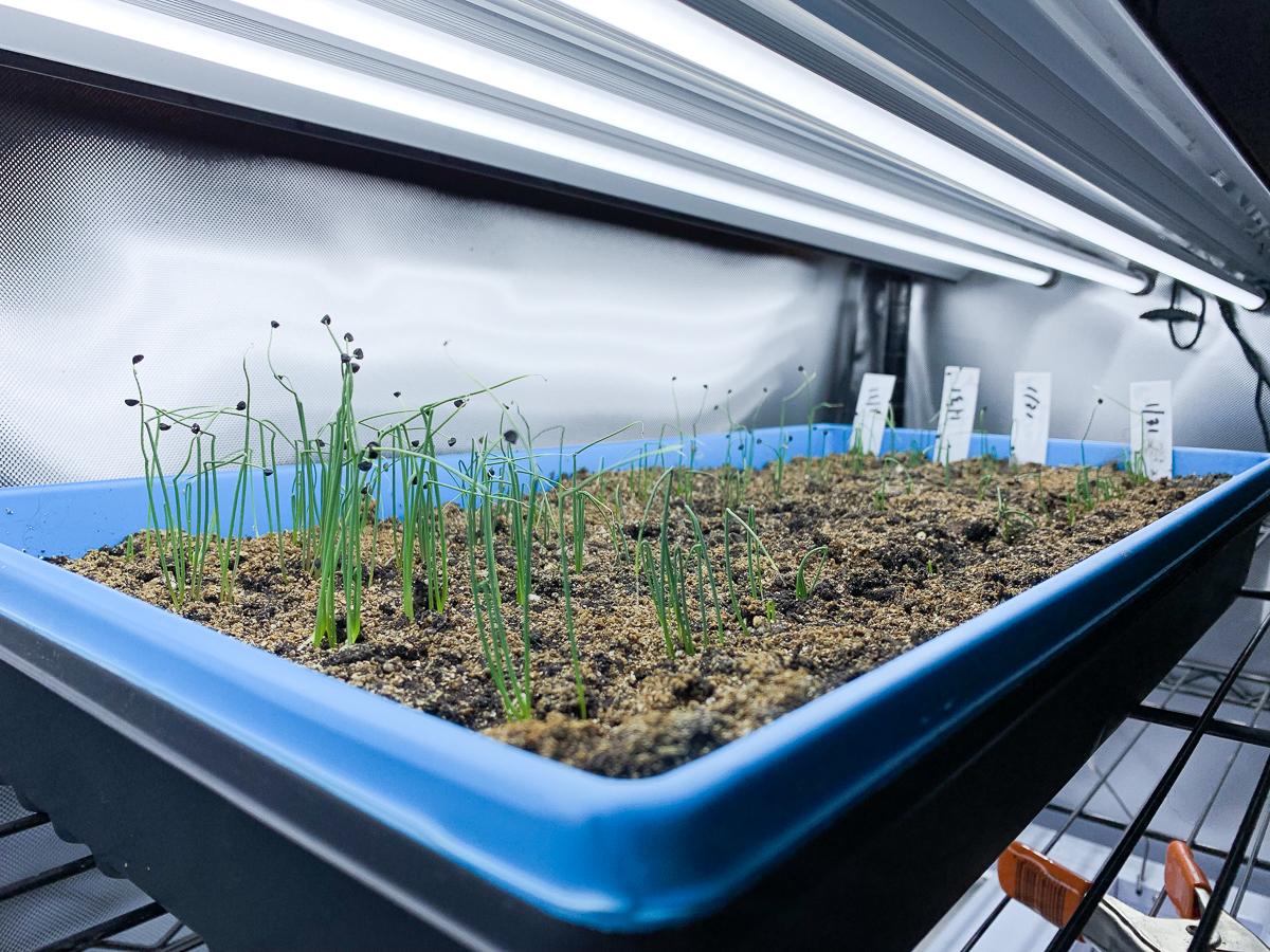 Onion seedlings under an LED grow light.