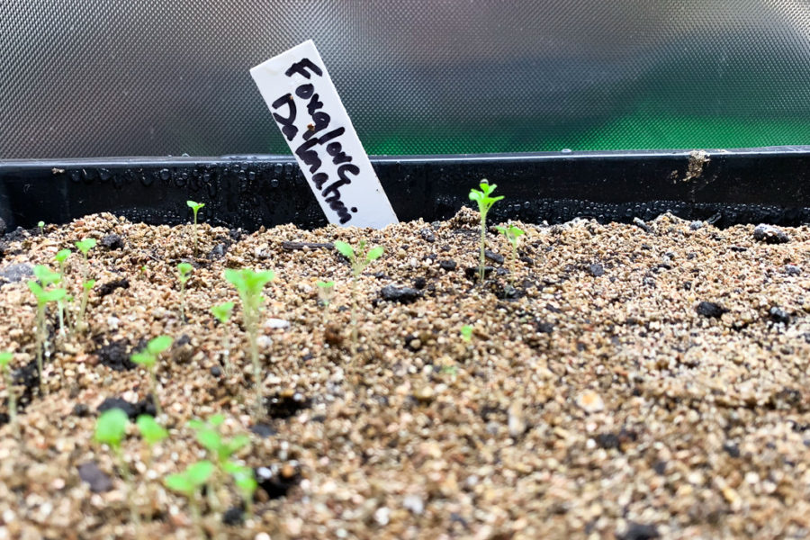 foxglove seed mistake