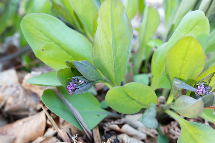 virginia bluebells flower