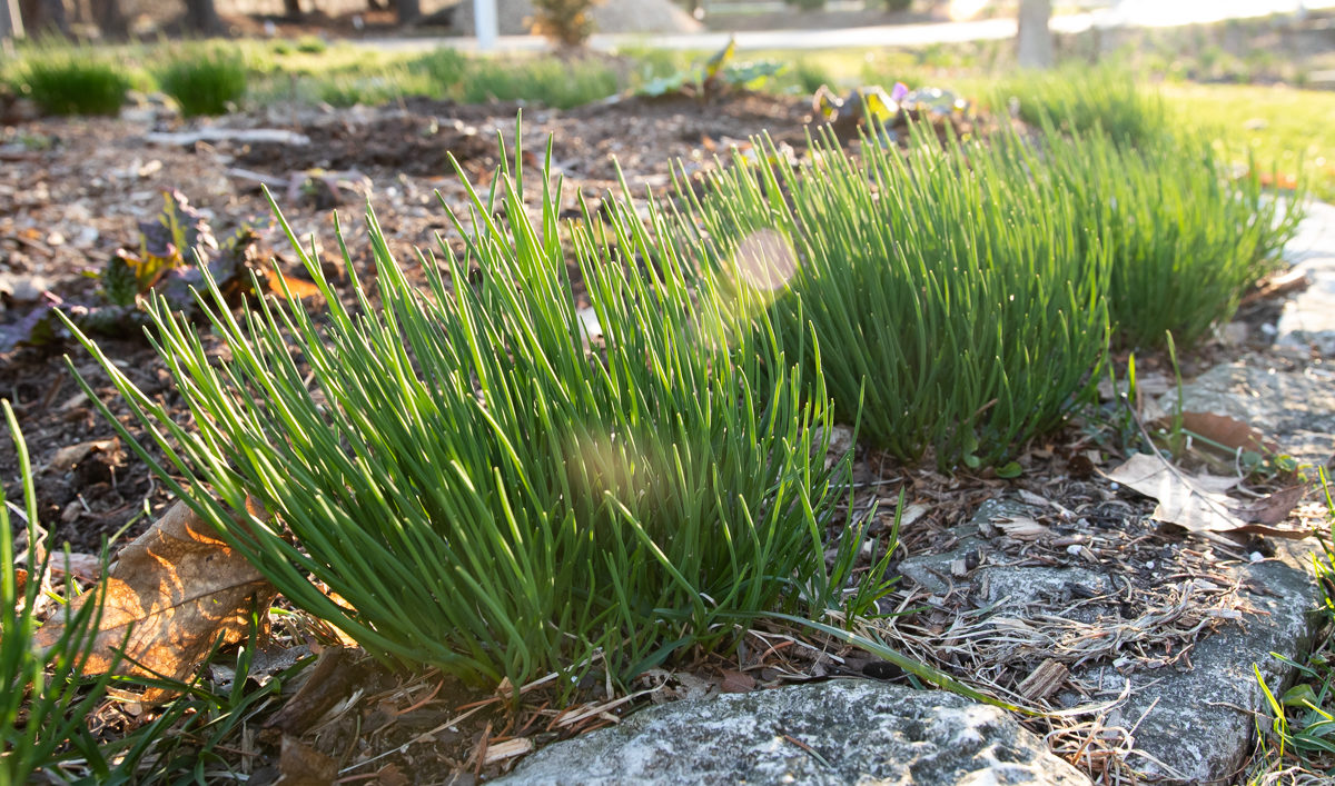 chives. If social media has taught us anything, it's that you never know what is going to cause controversy. It's hard to imagine gardening ever being ...