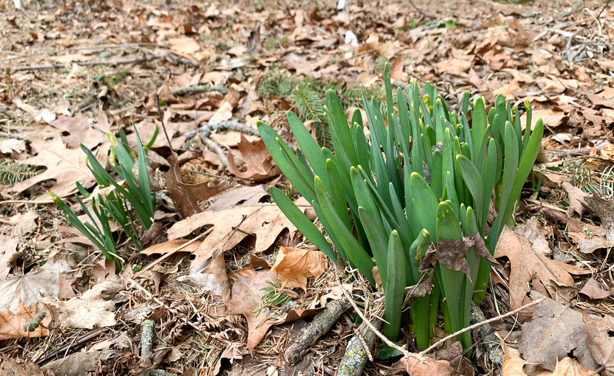 daffodils pushing out of soil