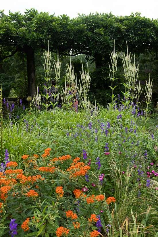 Butterfly weed at Chanticleer